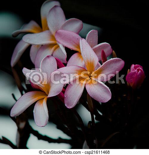 frangipani, vintage flower - csp21611468
