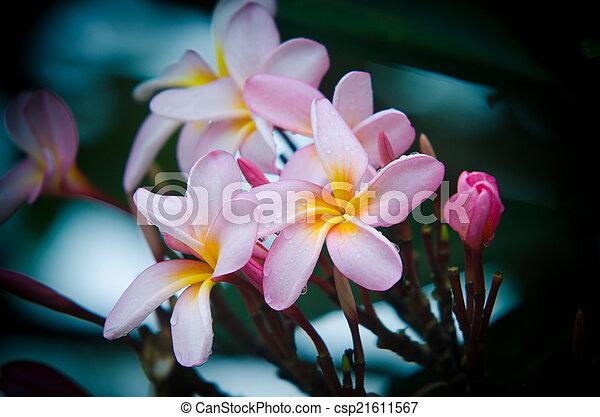 frangipani, vintage flower - csp21611567