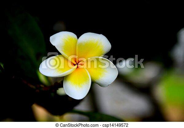Frangipani, weiße blume, gelber . Blütenstaub, mainly,... Bild ...