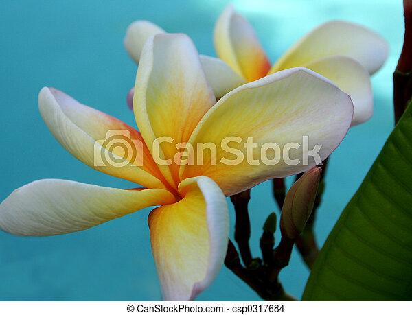 frangipanis, piscina - csp0317684