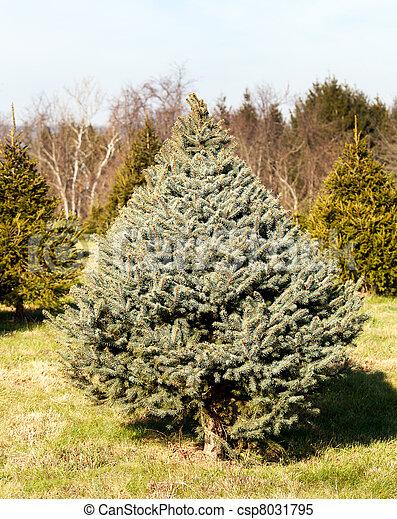 Fraser Fir Christmas Trees.Fraser Fir Christmas Tree In Farm