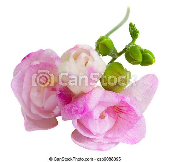 Pink freesia flowers isolated on white background freesia flowers csp9088095 mightylinksfo