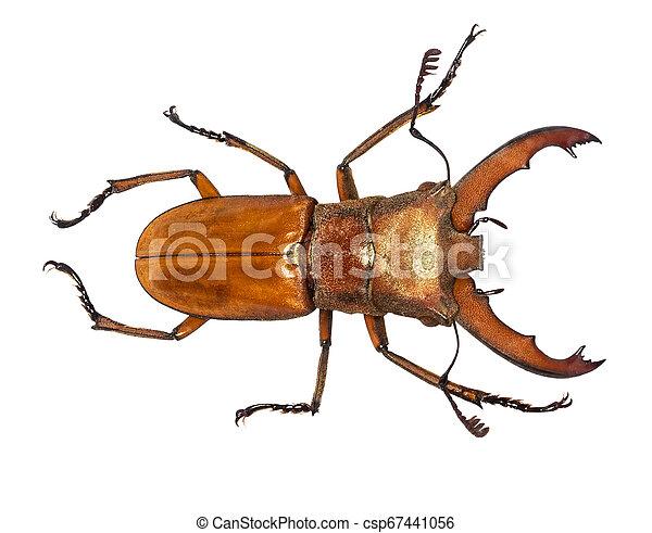 freigestellt, cervus, rehbock, lucanus, käfer, weißes - csp67441056