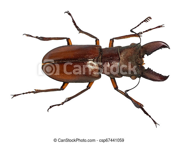 freigestellt, cervus, rehbock, lucanus, käfer, weißes - csp67441059