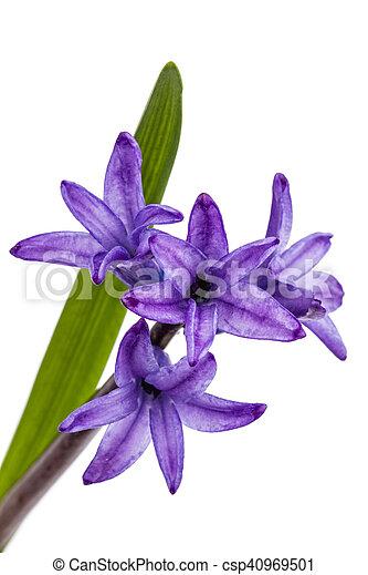 Freigestellt, hintergrund, violett, weisse blumen, hyazinthe ...