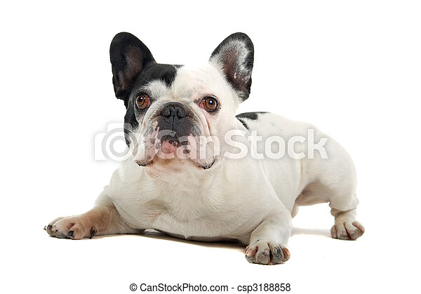 french bulldog (frenchie) - csp3188858