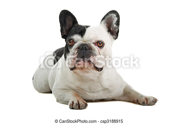 french bulldog (frenchie) - csp3188915