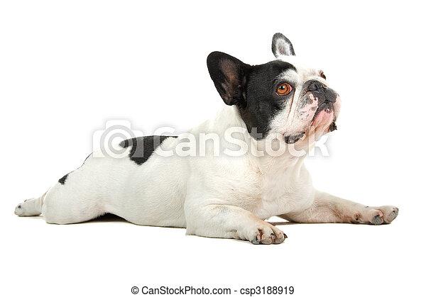 french bulldog (frenchie) - csp3188919