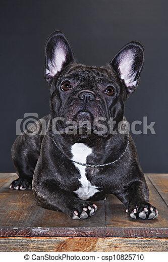 french bulldog - csp10825710