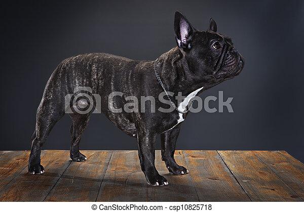french bulldog - csp10825718