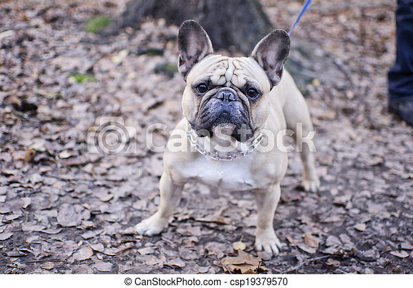 French Bulldog - csp19379570