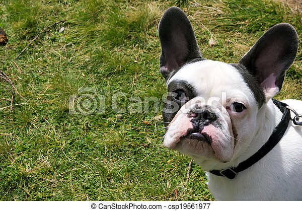 French Bulldog - csp19561977