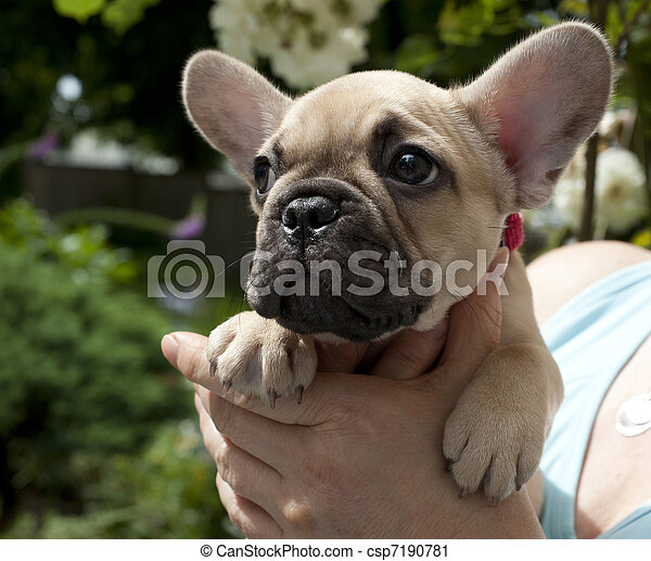 French Bulldog - csp7190781