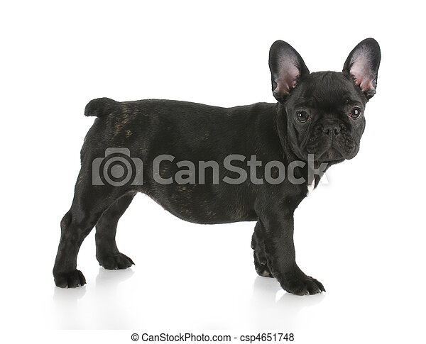 Black Brindle French Bulldog Standing With Reflection On White