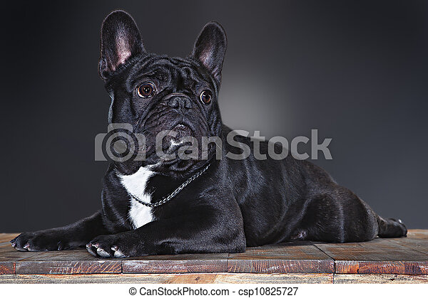 french bulldog - csp10825727