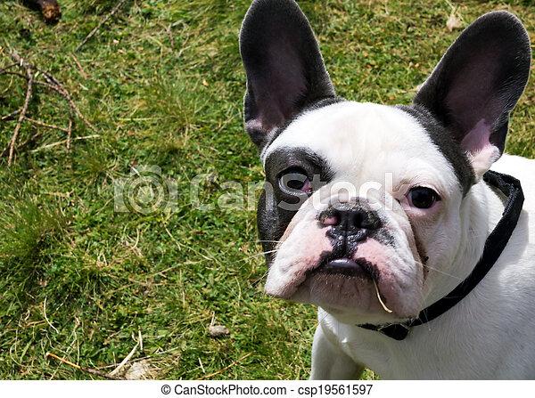 French Bulldog - csp19561597