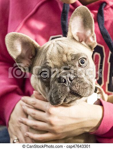 French bulldog - csp47643301
