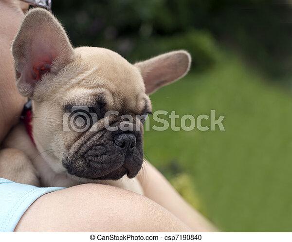French Bulldog - csp7190840