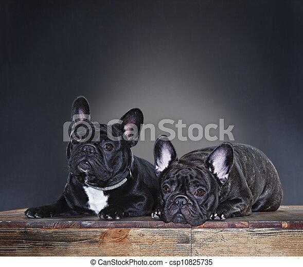 french bulldog - csp10825735