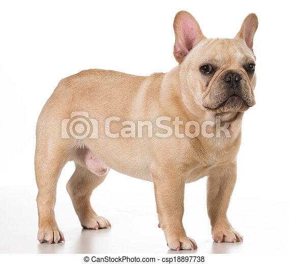 french bulldog - csp18897738
