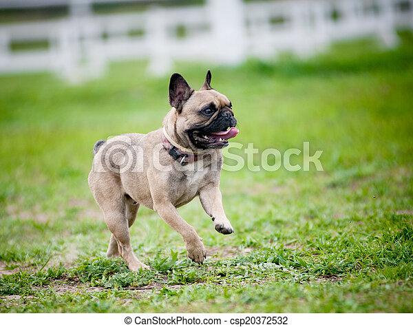 french bulldog - csp20372532