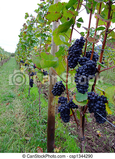 french grapes Pinot noir in Alsace region - csp1344290