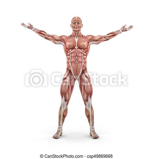 Frente, sistema, muscular, vista. Render, system., ilustración, esto ...