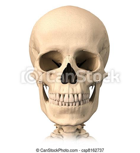 Frente, vista., cráneo, humano. Detallado, recorte, cráneo, image ...
