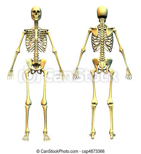 Frente, y, esqueleto, espalda. Esqueleto, render, -, back., frente ...