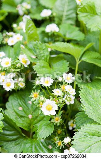 Flores de fresa - csp37262034