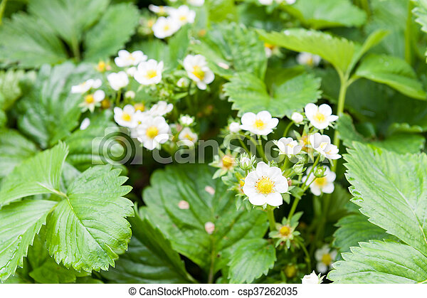 Flores de fresa - csp37262035