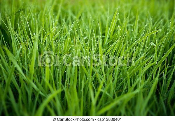 fresco, erba, gocce, rugiada - csp13838401