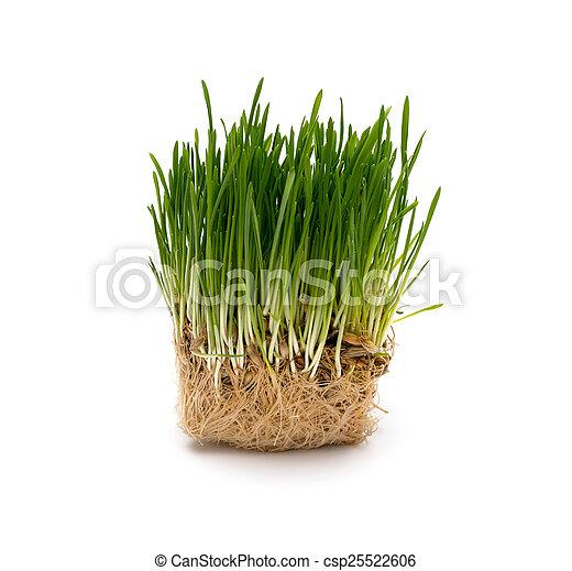 fresco, trigo, verde, seedling - csp25522606