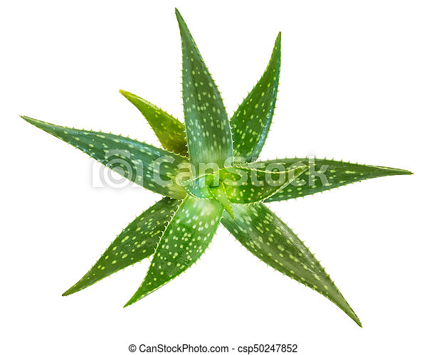 Fresh aloe vera isolated on white background, Clipping paths included - csp50247852