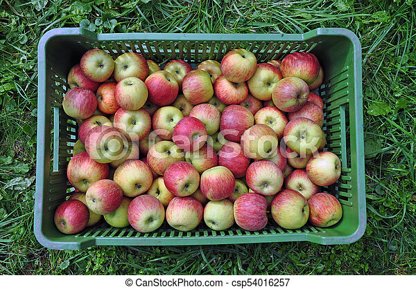 Fresh apples in a shipping crate - csp54016257