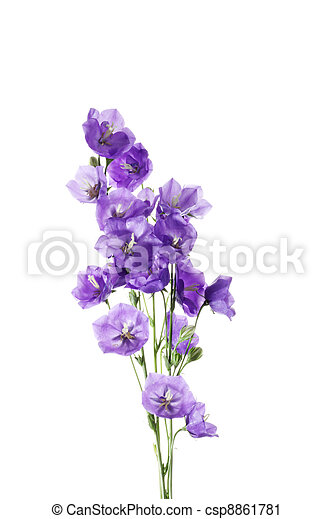 Fresh bouquet of blue and  white bell flowers - csp8861781