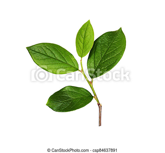 Fresh branch with green leaves - csp84637891