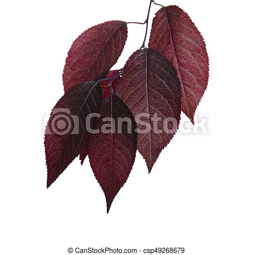 Fresh Bright Red Leaves Plums Isolated On A White Background