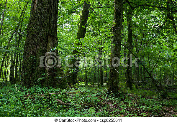 Fresh deciduous stand of Bialowieza Forest with some old trees - csp8255641