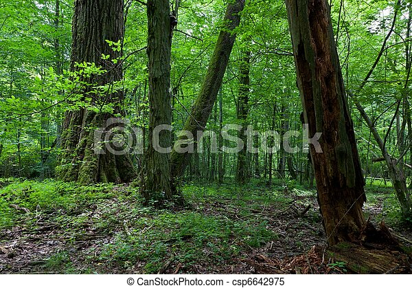 Fresh deciduous stand of Bialowieza Forest with some old trees - csp6642975