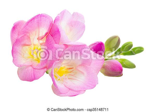 Fresh freesia flowers fresh pink freesia flowers isolated stock fresh freesia flowers csp35148711 mightylinksfo