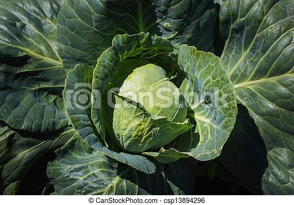 fresh green cabbage - csp13894296