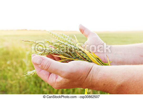 Fresh green cereal, grain in farmer's hands. Agriculture, harvest  - csp30862507