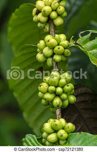 Fresh Green Coffee Beans On Branch Of A Coffee Tree In A Farm