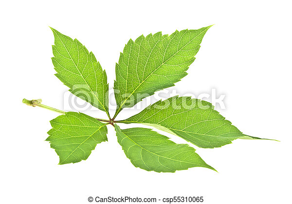 Fresh green grape leaf isolated on white background - csp55310065