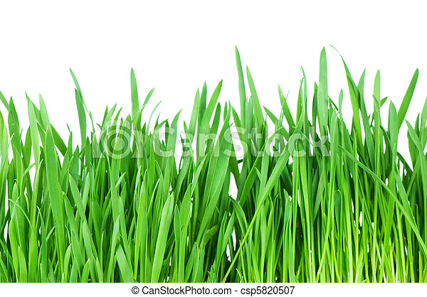 Fresh green grass isolated on white background - csp5820507