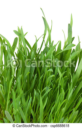 Fresh green grass isolated on white - csp6688618
