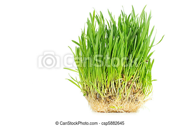Fresh green grass isolated on white background - csp5882645