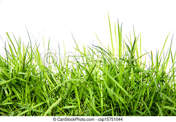 fresh green grass isolated on white background - csp15751044