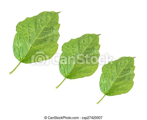fresh green leaf on white background - csp27420007